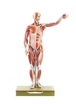AS 1/1 Male Muscle Figure