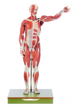 AS 1 Male Muscle Figure