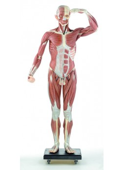 A 2/07 Male Muscle Figure
