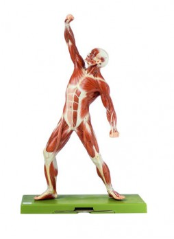 AS 3 Male Muscle Figure