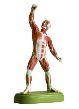 AS 3/1 Male Muscle Figure