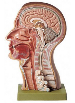 BS 17 Model of the Head