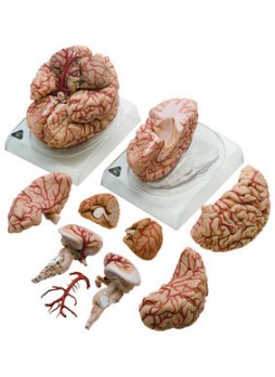 BS 23 Brain with Arteries