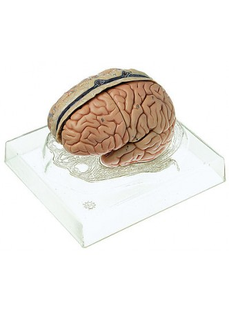 BS 23/3 Model of Brain