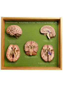 BS 45 5 Section Models of the Brain