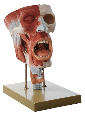 FS 5 Cavities of Nose, Mouth and Throat with Larynx