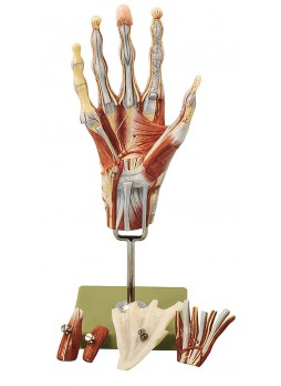 NS 13 Muscles of the Hand with Base of Fore-Arm