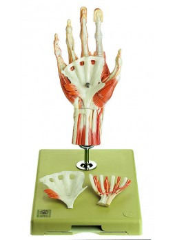 NS 13/1 Surgical Hand Model