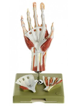 NS 13/1-E Surgical Hand Model in a didactic Colour-Scheme