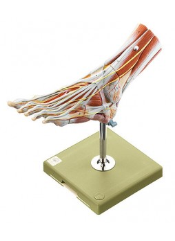 NS 9 Muscles of the Foot