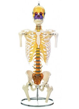 QS 21/19 Vertebral column with pelvis