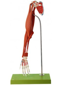 QS 55/3 Demonstration Model of the Arm Muscles