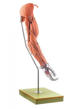 QS 55/5 Model of the Arm Muscles